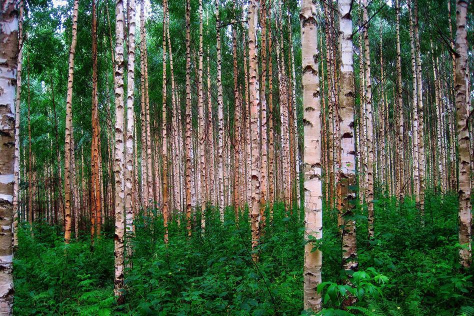 Eine Birke pflanzen – vier gute Gründe, die dafür sprechen
